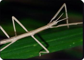 Resultat d'imatges de insecte pal